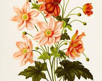 Botanical Print, Botanical Art Print, Anemone Flower Art Print, Flower Wall Art, Flower Print, Floral Print, Apricot Flowers