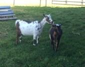 Goat Milk Soap -  Variety Pack  5 bars for 20