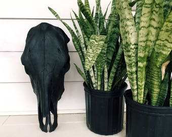 Painted Matte Black Cow Skull