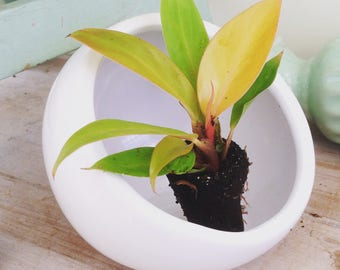 LIMITED! Philodendron Prince of Orange Plug (1)