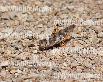 Say's Grasshopper (Spharagemon equale)