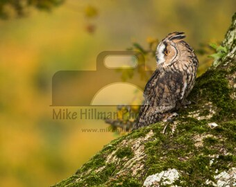 """Mounted Photographic Display Print - Long Eared Owl #4 (A4 print in 14"""" x 11"""" Mount, Unframed)"""