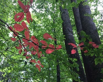 Red amongst the Trees
