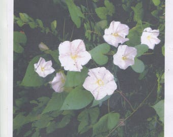 25-Snow White-morning glory seeds-gorgeous white 3 to 4 in. blooms...a heavy bloomer ...easy grow...check out free seeds...