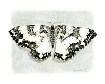 Black and White Moth, nature, insects, natural history,realism, entomology