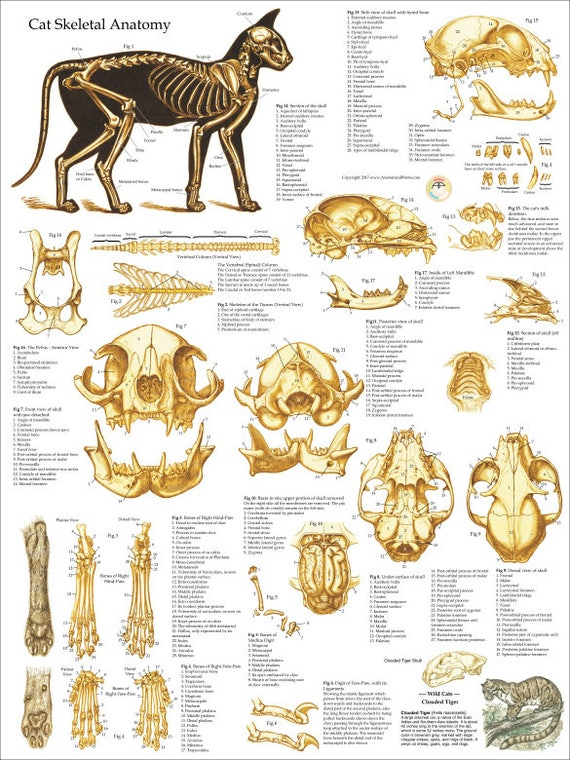 Cat Skeletal Anatomy Poster Wall Chart 18 X 24