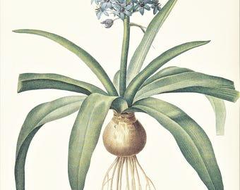 blue Scilla Portuguese squill Cuban lily garden bulb flower vintage botanical print illustration by Pierre-Joseph Redouté 8.5 x 12 inches