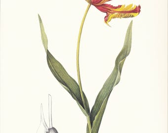 Tulip print vintage botanical print gardening gift spring garden by Pierre-Joseph Redouté red yellow flower illustration 8.5 x 12 inches