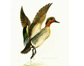 1961 Antique Teal Print, Dabbling Duck, Aquatic bird, Vintage Bird illustration, Bird wall art