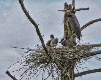 Color Digital Photograph of Great Blue Heron Adult and Babies in the Nest from Candia, New Hampshire