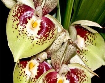 iPhone6, iPhone6+, iPhone7, iPhone7+, iPhone 5 & SE Wallpaper of a Catasetum pileatum hybrid orchid