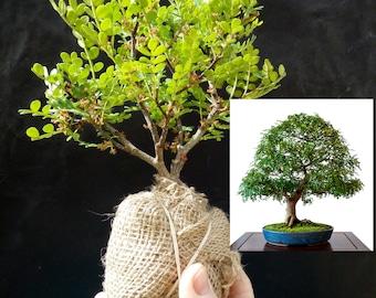 Zanthoxylum beecheyanum Bonsai - 6 year old plant