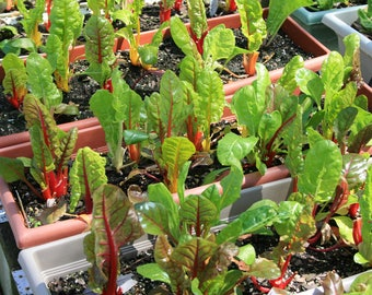"Swiss Chard Bright Lights Live Plant Fall Vegetable Live Plant From 2"" Plug"
