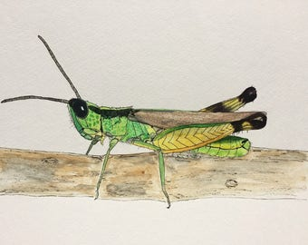 Grasshopper Watercolor & Ink