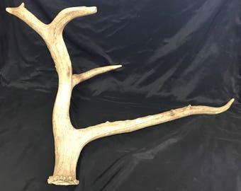 "1 Large Deer Antler Pere David Buck Horn 26"" 6lbs"