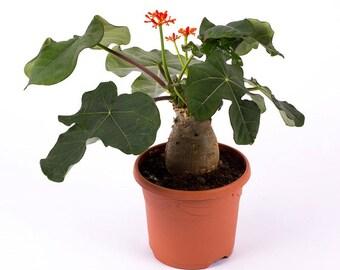 Jatropha podagrica (Buddha belly) [VERY RARE]  / Price per 2 seeds