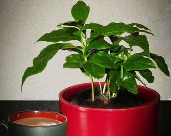 10 DWARF Coffee Tree Seeds  - Coffea Arabica 'nana' Plant- Combine Shipping