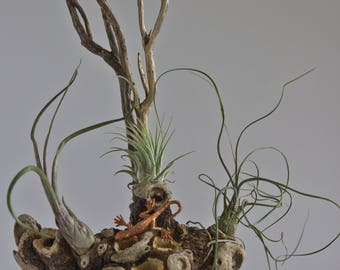 Airplants and Nestpod on Driftwood