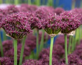 20 Allium atropurpureum Seeds, Ornamental Allium Dark Maroon Allium
