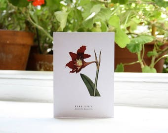 Fire Lily: Greeting Card