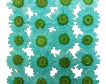 Pressed flowers, turquoise marguerite 20pcs for floral art, craft, card making, scrapbooking