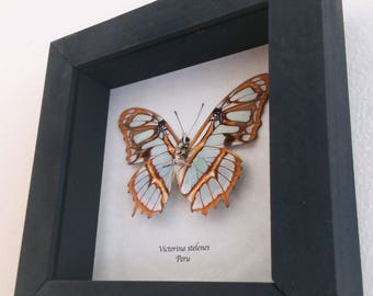 Real butterfly framed - Victorina stelenes