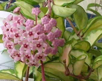 "Hoya ""Crimson Princess"" - 1 Starter Plants - 8"" Tall - Ship in 3"" Pot"