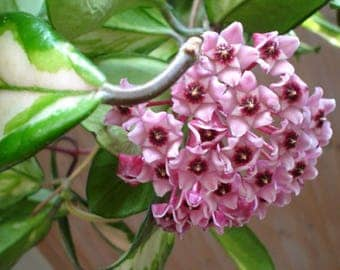 "Hoya carnosa 'Tricolor'  - 1 Starter Plants - 8"" Tall - Ship in 3"" Pot"