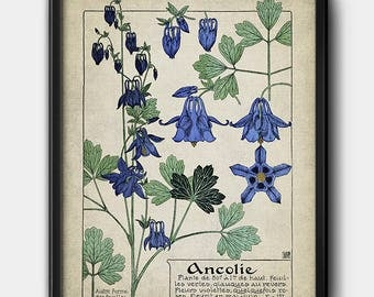 Aquilegia · French Illustration · 1900s · Plant · Columbine · Instant Download · Vintage · Printable #174