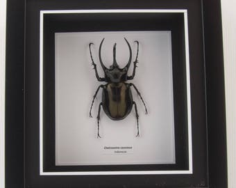 Chalcosoma caucasus Beetle - Wall Decoration - Taxidermy Insect Mounted in Poly Frame - 9cm