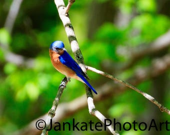 Bird photography, blue bird, nature art, wildlife photography, art print, metal print, blue, orange
