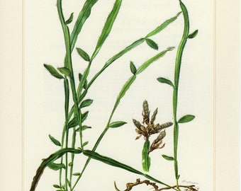 Vintage lithograph of french broom from 1958