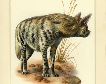 Vintage lithograph of the striped hyena from 1956
