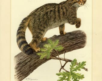 Vintage lithograph of the wildcat from 1956