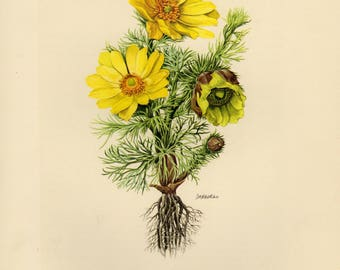 Vintage lithograph of the pheasant's eye, spring pheasant's eye, yellow pheasant's eye or false hellebore from 1955