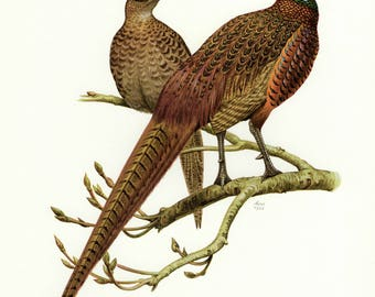 Vintage lithograph of the common pheasant or ring-necked pheasant from 1956