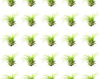 25 Pack Bulk Air Plants - Tillandsia Ionantha - Bulk - Great in Terrariums - Air Filtering - Vibrant Fun Unique Decor or Gift …
