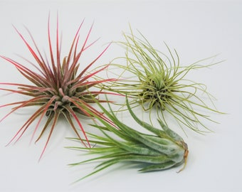 """Air Plant 3 Pack - Three Air Plant Varieties - 2""""-3"""" Large Great in Terrariums - Vibrant Fun Unique Decor or Gift"""