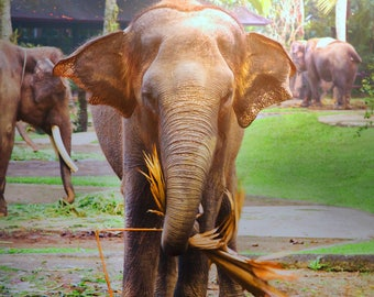 Elephant Fine Art Print Photo, Wall Decor, Animal Photography, Contemporary Art, Photos on Wood
