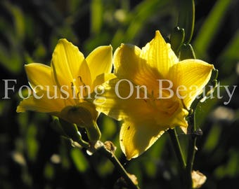 Pictures of Flowers / Yellow Lilies / Wall Art