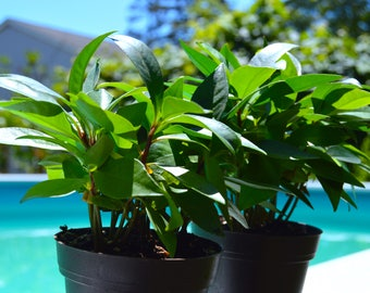 Ardisia Humilis Plant