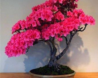 10 Pcs Cherry Azalea Seeds Perennial Flower Seeds For Garden in Bonsai