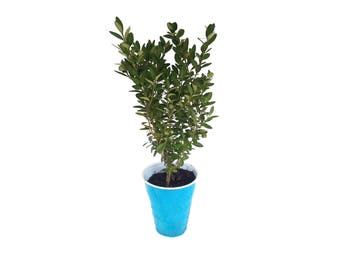 Live BOXWOOD ''Winter Gem'' (Buxus microphylla japonica) Plant Well Rooted Quality Starter Evergreen Bush/ Hedge Herb FREE SHIPPING!