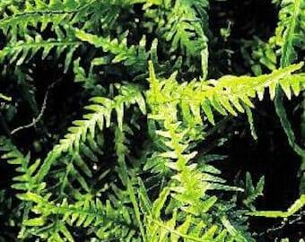 Dragon Tail Fern  Asplenium ebenoides