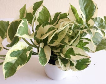 Pothos N'Joy Plant, Money Plant, Epipremnum Aureus Variegated Leaves NASA Approved Cleaning Air Potted Plant, Office Plant, Easy Grow Plant