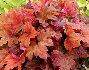 Heucherella 'Sweet Tea' PP21296