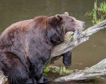 Digital Download Photograph, Brown bear enjoying a nap.
