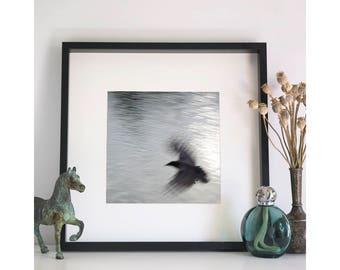 Crow, Photographic Print, 12x12