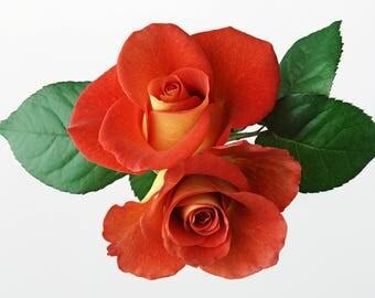Orange Rose Bud Pair Cross Stitch Pattern