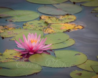 Lonely water lilly